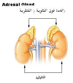 Illu_adrenal_gland